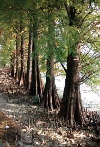 Cipressi calvi sul lago d'Iseo